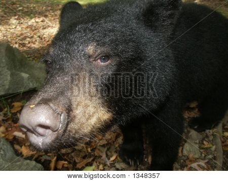 Black Bear Head Shot