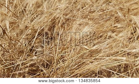 The Countryside - Ripened Dry Wheat Background