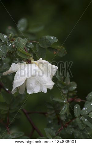 a white rose covered in water drops