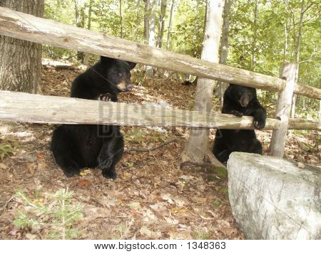 Two Black Bear Siblings