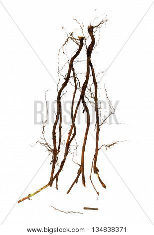 old dry root of blackberry tree on a white background