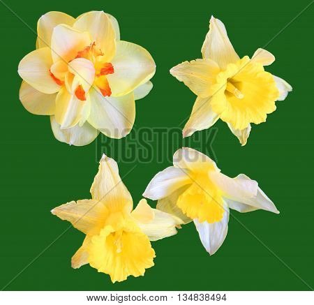 narcissus perspective fresh delicate flowers and petals of jonquil isolated on green background scrapbook art flower arrangement cover