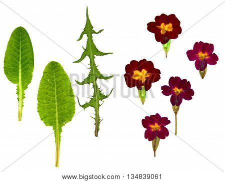 viola perspective dandelion dry leaf dry delicate flowers and petals pressed herbaceous plant of temperate regions purple blue or white five-petaled flowers isolated on white scrapbook background