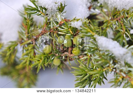 close on  green juniper berries under snow