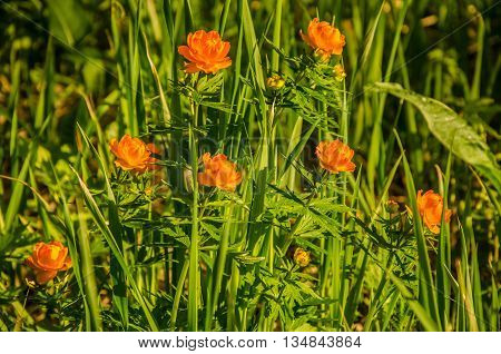 globe- orange flowers . spring flowers orange. flowers early in the morning mist near a pond. on a green lawn in the early foggy morning . the sun's rays fall on the wet grass and flowers