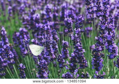 Small Cabbage White butterfly feeding on lavender flowers