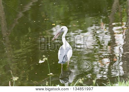 Egret or Pelicans standing in the pond of public park and Seeking the foods.
