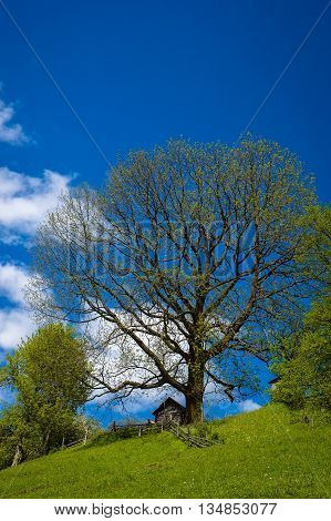 Big beautiful green tree on the background is perfectly blue sky with clouds. Carpathian Mountains Ukraine