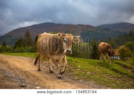 Cows go on a mountain road in Carpathian mountains