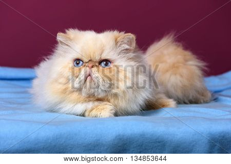 Cute cream colorpoint persian cat is lying on a blue bedspread in front of a purple wall background