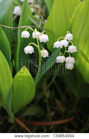 Lily of the valley (Convallaria) flowering fragrant spring flower