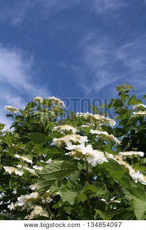 Kalina ordinary, red Viburnum (Viburnum opulus) deciduous shrub