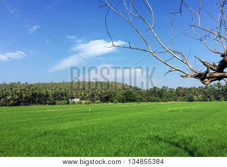 Green field landscape in India, with indian countryside houses and old tree branches, peaceful indian landscape, south India farm fields
