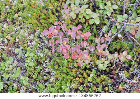 Russia Eastern Yakutia. Vegetable background. The dwarf birch tundra.