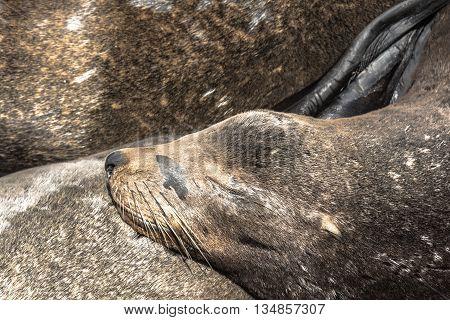 View of the sea lion resting in Santa Cruz, California