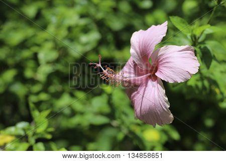 Blur Red Hibiscus Flower/Red Hibiscus Flower butifull