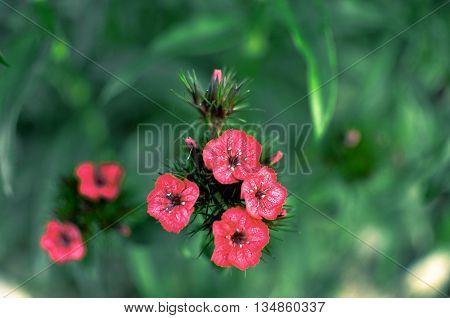 Flowerbed With Rose Campion Lychnis Coronaria