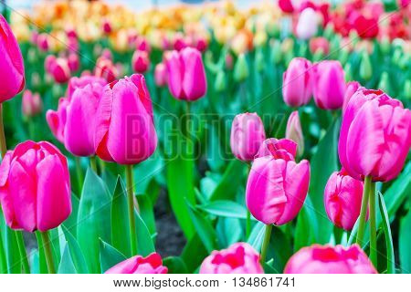 Vibrant colorful  holiday or birthday background with beautiful closeup pink tulips flowerbed