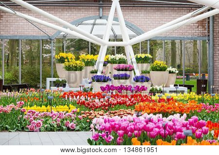 Lisse, Netherlands - April 4, 2016: Colorful tulips flower blossom in pavillion of dutch spring garden Keukenhof, Lisse, Netherlands