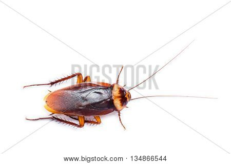 The brown Cockroach on a white background