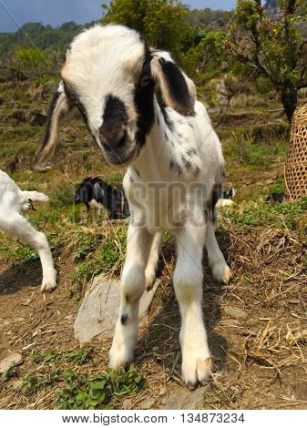 Black & white goat in small village, baby goat, farm animal goat
