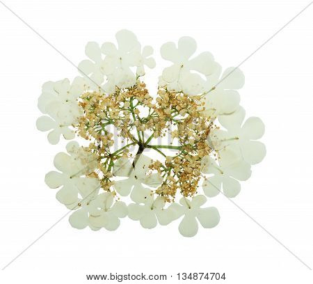 Pressed and dried delicate flower viburnum. Isolated on white background. For use in scrapbooking pressed floristry (oshibana) or herbarium.