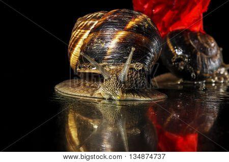 Snails and poppy  flower on black background