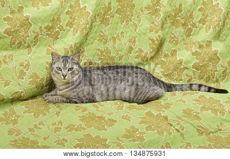 Cat on green carper background, angry cat, cat at home, portrait of cat