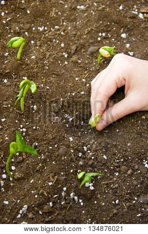 the female young hand plants germinated haricot to the earth with fertilizers, small green leaves, one hand