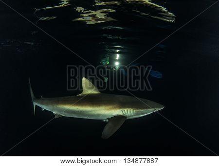 Silky Shark at Night at Islas Revillagigedos, Mexico