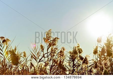 Sun Shining Over Reed Grasses. Natural Saline Park, Santa Pola, Alicante, Spain