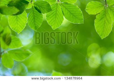 Fresh beech leaves background, shallow depth of field