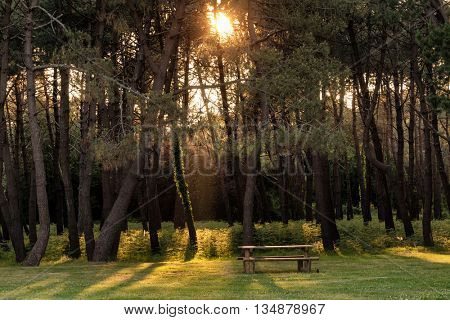 Sunset beams in pine tree forest with wooden bench