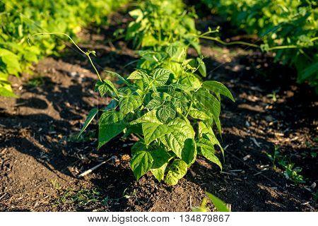 Bean Plants In The Field