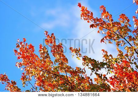 Maple Leaf Tree with Blue Sky Background