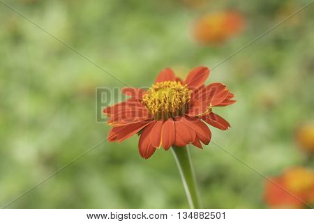 Calendula. Marigold flowers with leaves isolated on nature background