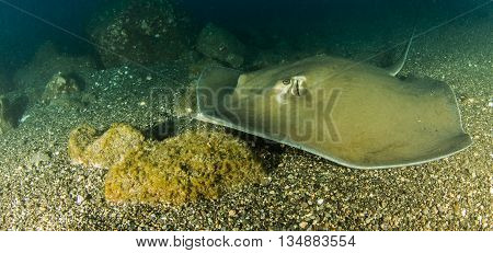 Sting ray at Isla Revillagigedos in Mexico