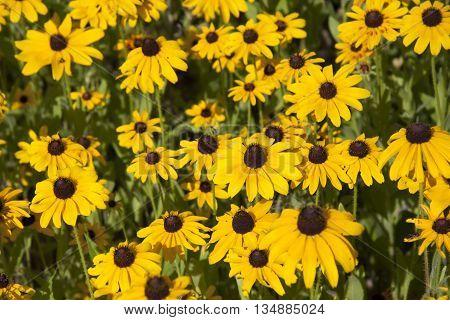 Meadow of beautiful black eyed susan wildflowers