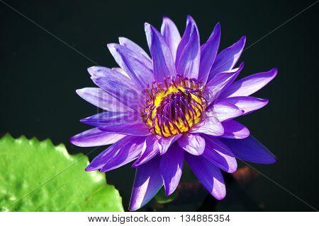beautiful purple Lotus flower on nature background