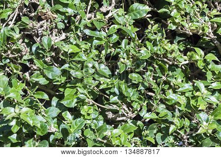 Natural background of trimmed hedge green leaves