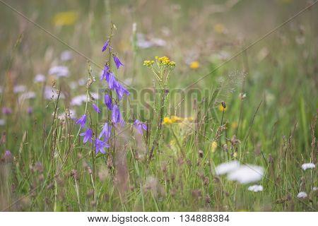 Creeping Bellflower (Campanula rapunculoides) flowering in a meadow