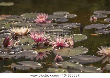 A group of White Water Lily (Nymphaea alba) flowering in a small pool some are a pink variety