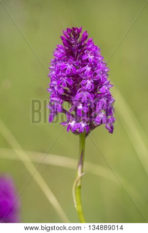 Pyramidal Orchid (Anacamptis pyramidalis) flowering in an Arboretum between the vegetation
