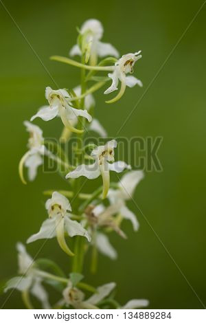 Greater Butterfly-orchid (Platanthera chlorantha) flowering in an Arboretum