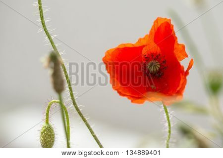 Common Poppy (Papaver rhoeas) flowering in a Bank