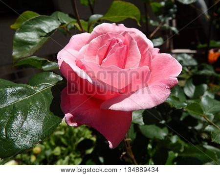 rose flower , rose , eglantine , dog-rose , pink rose flower