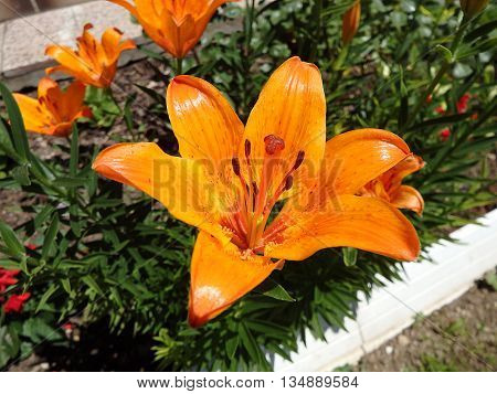 Lilly , orange lilies , lily flower ,