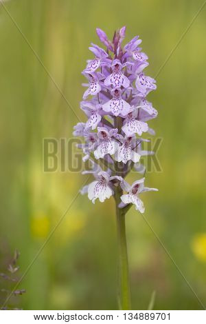 Heath Spotted Orchid (Dactylorhiza maculata) flowering in a meadow