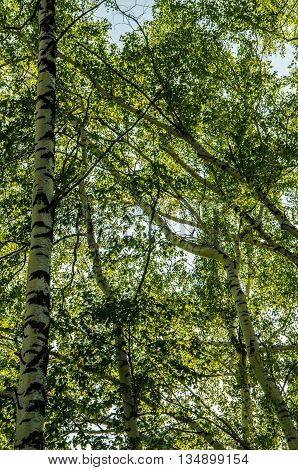 birch forest covered with green foliage . summer landscape . bright and lush green trees . juicy green leaves . on the ground grows juicy green grass .