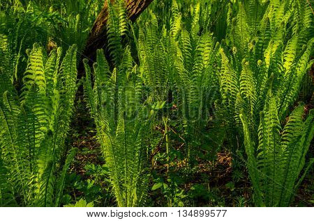summer landscape . fern growing in the summer forest. the sun's rays pass through the plant and provide pleasant shade